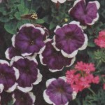 Непрерывное цветение в саду - как добиться?
