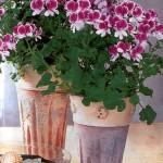 Правила выращивания пеларгонии
