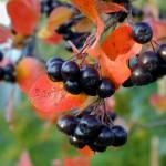 Горькая и сладкая черноплодная рябина