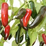 Капсикум растение для кухни