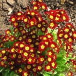 Как вырастить примулы из семян