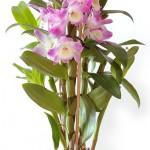 Орхидея дендробиум. Уход