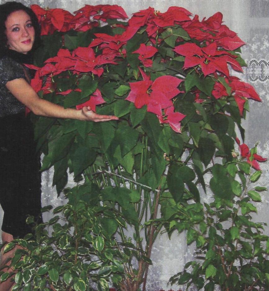 Пуансеттия выращивание из черенка 92