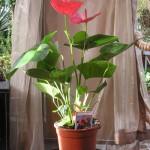 Комнатное растение антуриум. Уход.