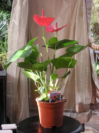 Домашние цветы в горшке фото и название