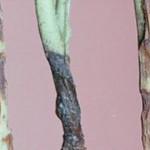 Болезнь черная ножка