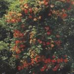 Посадка лиан в саду
