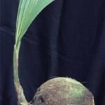 Как прорастить кокосовый орех