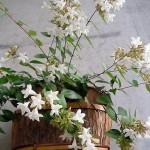 Выращивание акокантеры длиннолистной