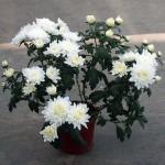 Комнатные хризантемы для сада