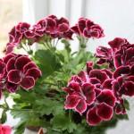 Королевская пеларгония не цветет