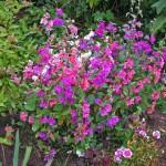 Кларкия. Выращивание