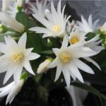 Пасхальные кактусы