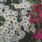 Цветы пиретрум
