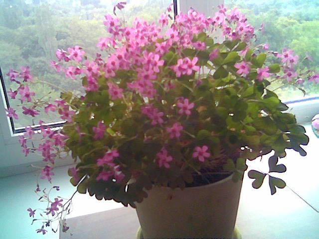 цветок кислица комнатный фото