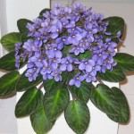 Как продлить цветение сенполий