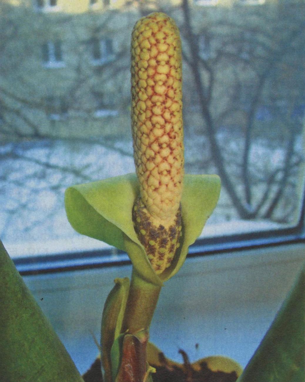 Цветок замиокулькас и его уход в домашних условиях фото