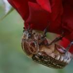 Майский жук на розах