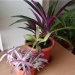 Комнатное растение рео