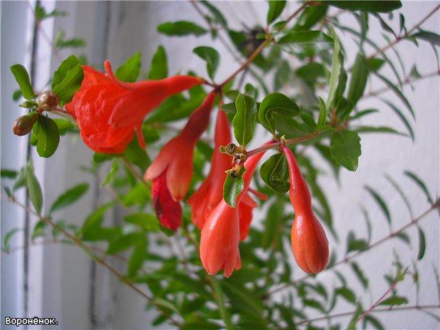 Гранат цветок комнатный