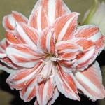 Для обильного цветения гиппераструма