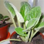 Растения с опушенными листьями