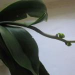 Падают орхидеи. Что делать?