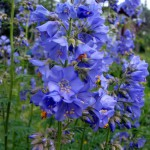 Синюха из семян