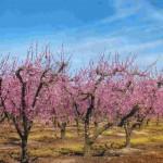 Персики: способ выращивания