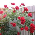 Как сохранить зимой корнесобственную розу