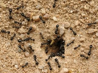 Почему появляются муравьи на участке
