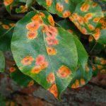 Ржавчина на листьях деревьев