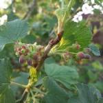 Удобрения для смородины весной