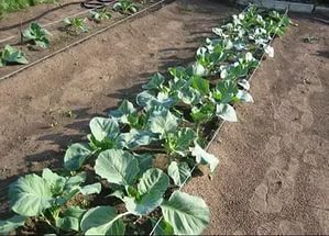 Выращивание брокколи в грунте
