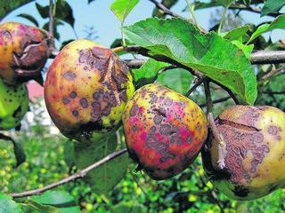 Болезни яблони и борьба с ними