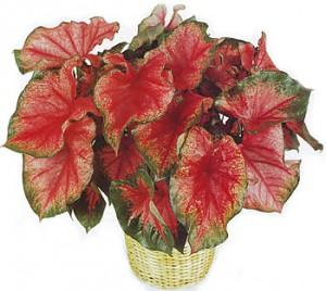 Каладиум - вредоносный домашний цветок