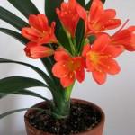 Кливия - опасный домашний цветок