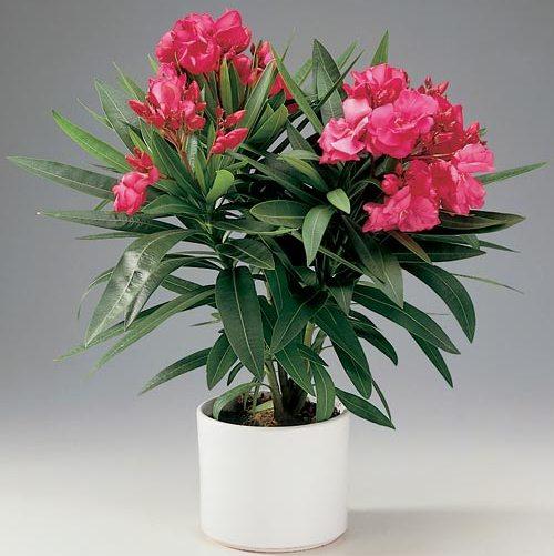 Олеандр - опасное ядовитой растение