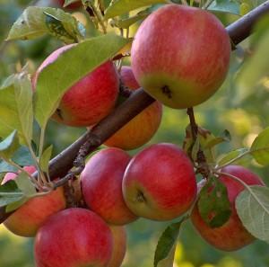 Готовим плодовые деревья к зиме