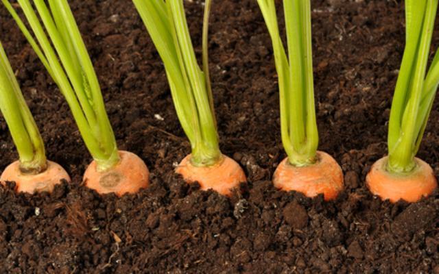 Всходы моркови
