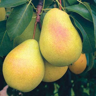 Садовая груша - особенности посадки